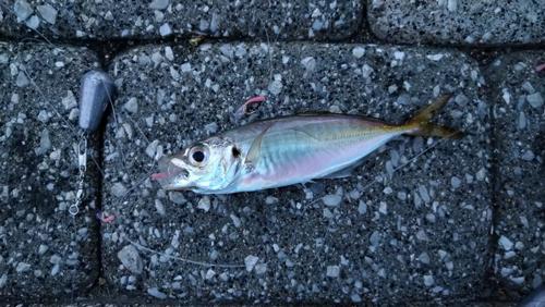 息子が釣った初魚
