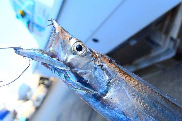 太刀魚の写真